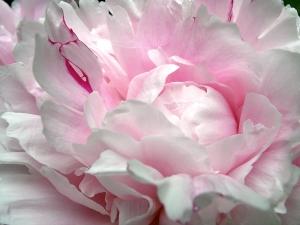 peony-petals-3