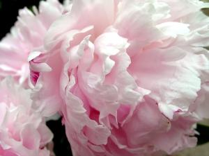 peony-petals-4