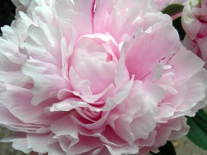 peony-petals