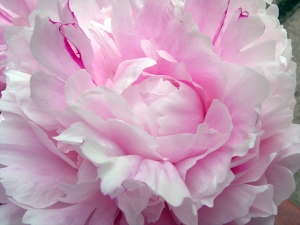 peony-petals2
