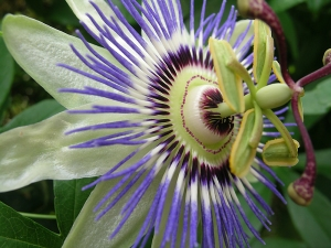 passionflower 3-4