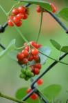 chain link berries 2