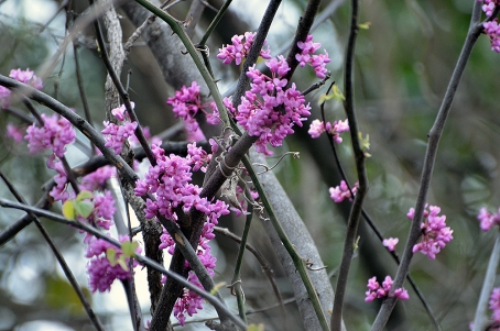 redbuds backyard