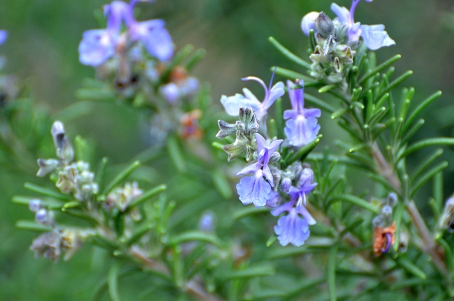 rosemary blooms2