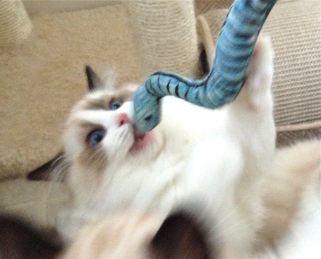 ragdoll cat snake