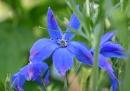 blue pink fleurs