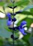 cobalt blue fleur
