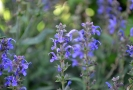 purple salvia
